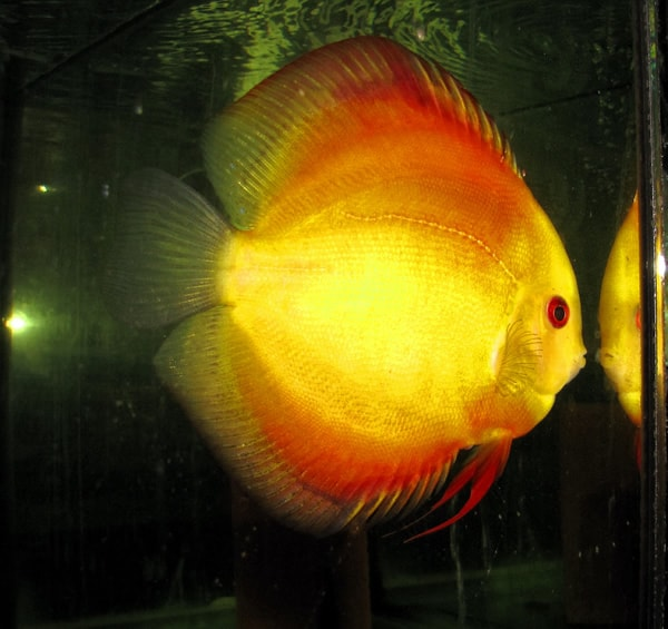 Gold Melon Discus (2 Inches)