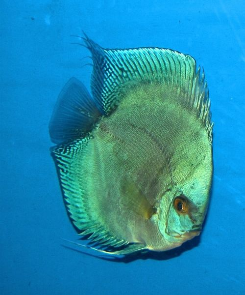 Green Diamond Discus (2 Inches)