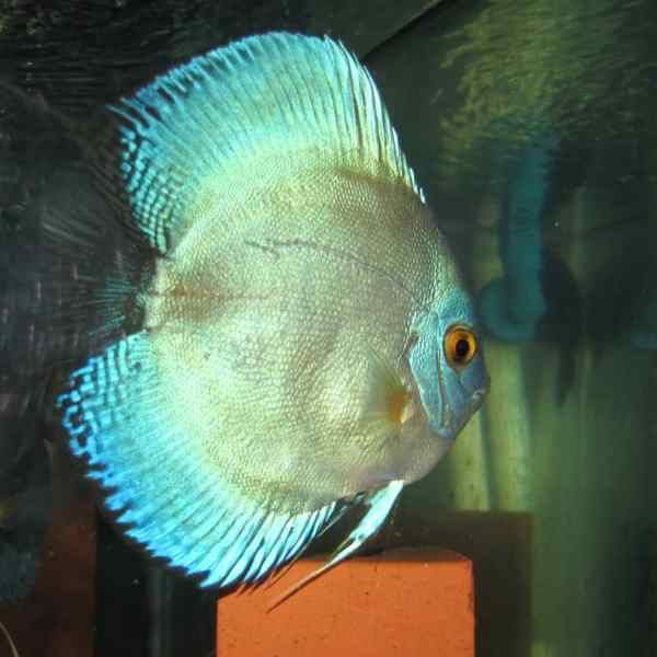High Finned Blue Angel Discus (2 Inches)