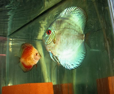 High Body Green Sapphire Discus (2 Inches)