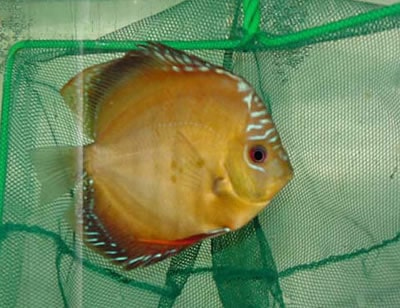 Red Ghost Discus (2 Inches)
