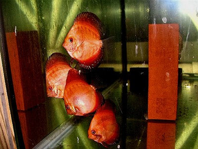 Red Passion Discus (2 Inches)