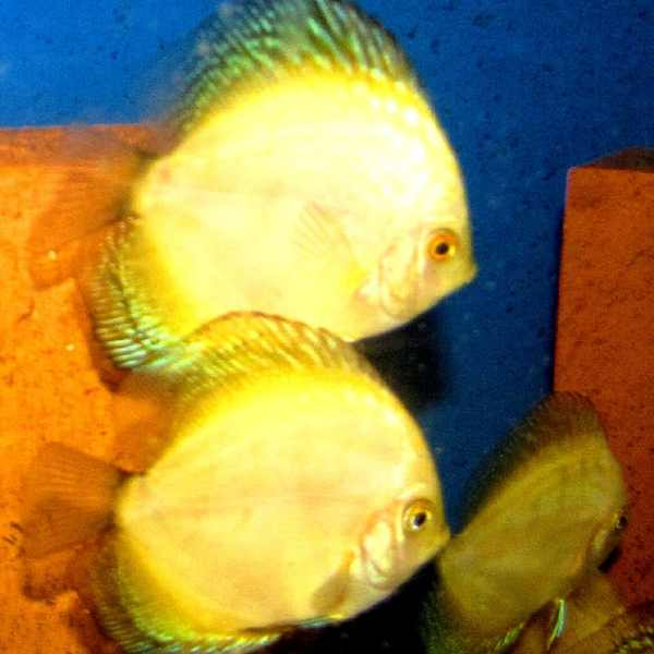 Yellow Faced Marlboro Discus