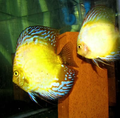Yellow Pearl Flamed Discus