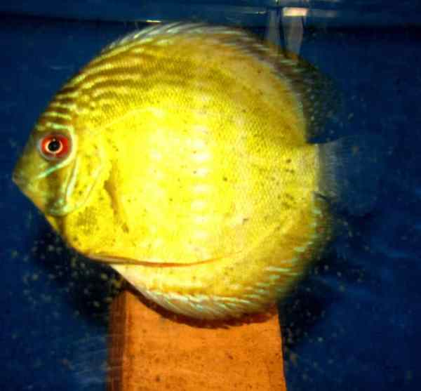 Yellow Ica Discus