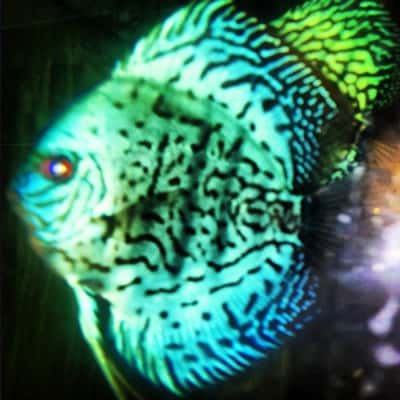 Royal High Fin Green Reflection Discus (2 Inches)