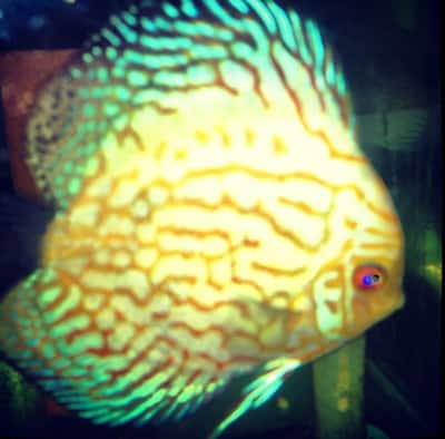 High Fin Jade Dragon Discus (2 Inches)