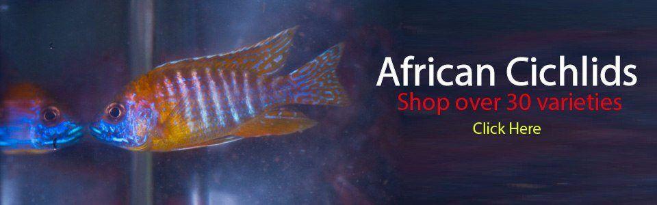african-cichlids-1