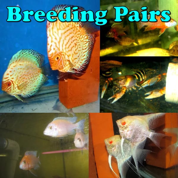 Breeding Pairs