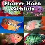 Flower Horn Cichlids