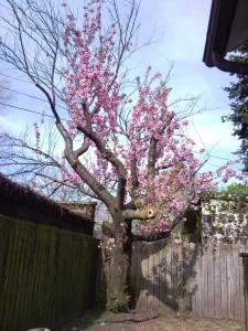 今年の桜。見ての通り寂しい。