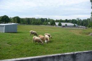 羊さんがフレンドリーなのどかな牧場でした。
