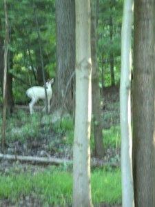 写り悪いけど、ほら!白鹿さんがそこに!