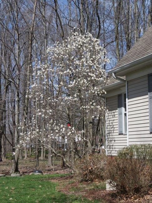 庭先のマグノリア(4月上旬撮影)。もう今では散ってしまったけど。。。