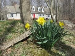 やっと水仙が嬉しそうに咲いてます。