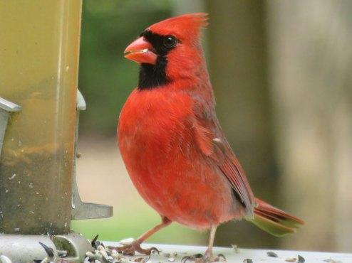 野鳥の餌台に訪れたカーディナル。素敵なさえずりをするイケメンです。