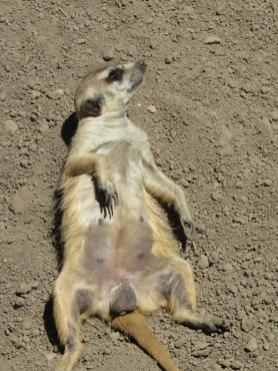 メトロパークス動物園のミーアキャットが大胆な格好で寝っころがってました。