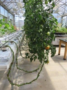 農場公園の一角にあるグリーンハウス。水耕栽培のトマト。