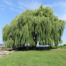 新学期が始まる前の8月中旬に、仲良しの友達と最近新しくなったEdgewater Parkへ。この柳の木は、樹齢はかなり行ってる大きな木。