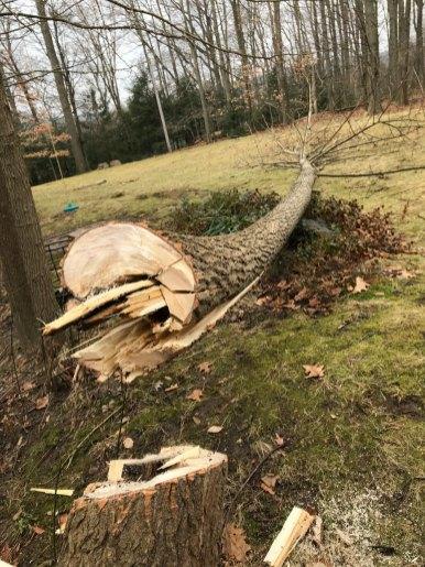 この週末はカーペンターアンツに蝕まれた木を切り倒しました。見てのとおり、まったく雪がない暖冬が続いてます。