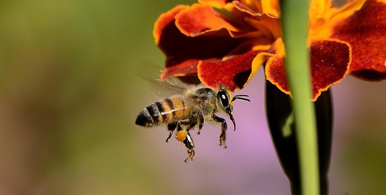 Biene fliegt an einer Blüte in Neu-Isenburg