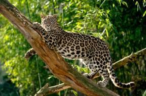 Persischer Leopard 13