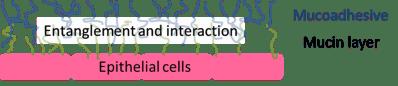Mucin/mucoadhesive interaction mechanism