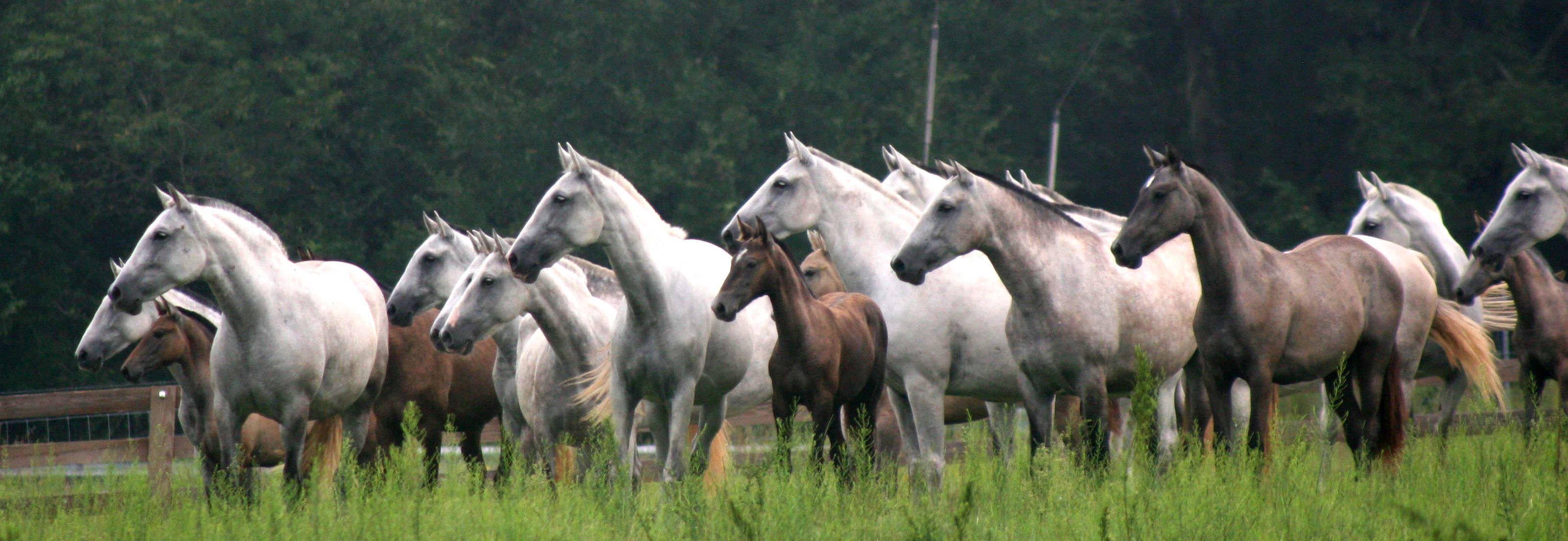 Royal Horse Farms - Top P R E  Andalusian Breeder