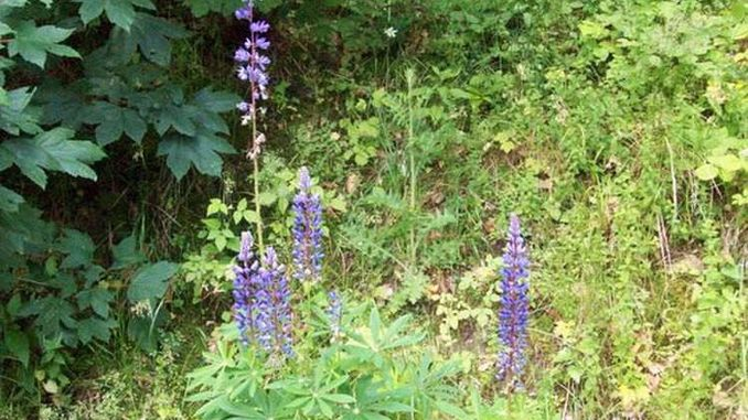 381px_lupine