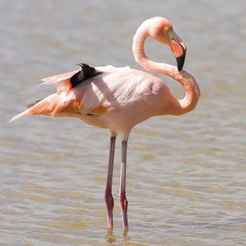 Greater Flamingo