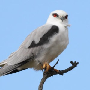 Black Shouldered Kite