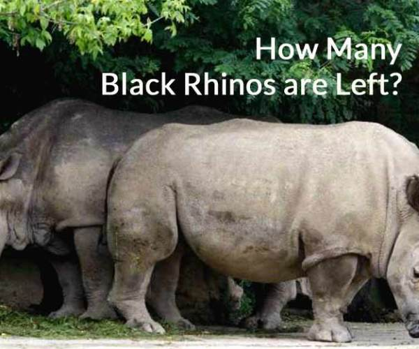 How Many Black Rhinos are Left in the world 2021?