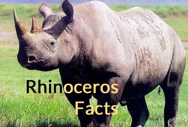 rhinoceros facts and meaning