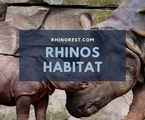 Rhinos Habitat – What does a Rhino need to Survive?