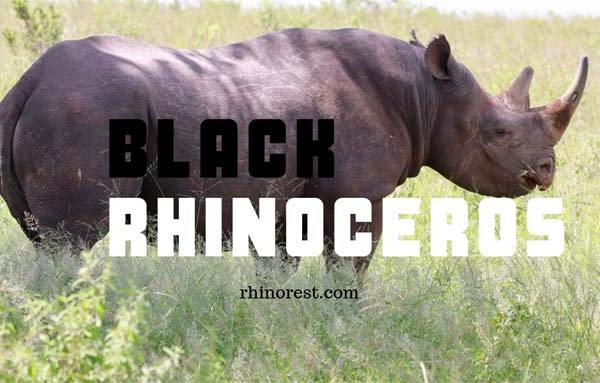 Black Rhinoceros – Why are black rhinos called Black Rhinos?