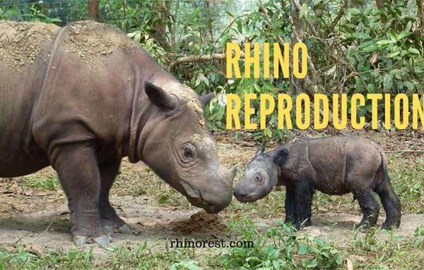 Rhino Reproduction – How do Rhinos Reproduce?