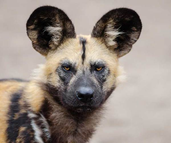 African Wild Dogs – Profile | Facts | Pet | Traits | Behavior | Prey
