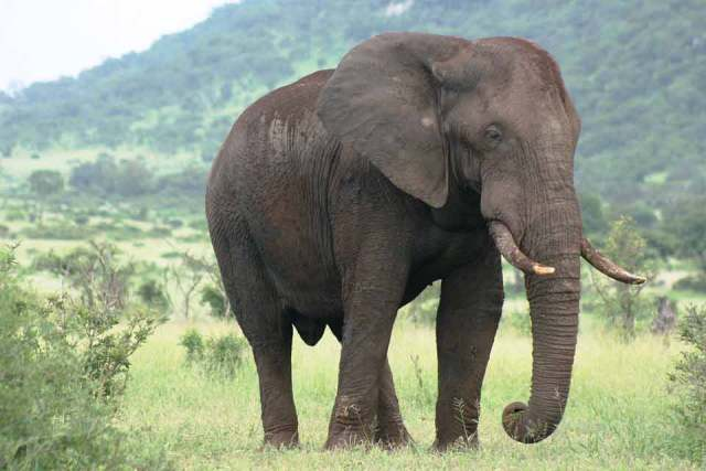 habitat of african elephant african elephant facts interesting facts about african elephants fun facts about african elephants elephant habitat facts african elephant facts for kids african bush elephant facts biggest african elephant elephant is the biggest animal elephant is the biggest land animal african elephant appearance african elephant description african forest elephant facts south african elephant facts biggest species of elephant elephant with biggest ears african bush elephant fun facts forest elephant facts elephant biggest ears facts about african bush elephants amazing facts about african elephants african elephant habitat facts african elephant amazing facts african forest elephant fun facts 10 facts about african elephants african bush elephant habitat facts 25 amazing facts about african elephants female elephant facts african elephant natural habitat facts about the african bush elephant african elephant diet facts interesting facts about african bush elephants savanna elephant facts