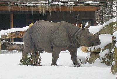 Jange im Tiergarten Schönbrunn, 6. Jänner 2010