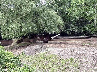 Ropen steht im Badebecken (Pfeil) im vorderen Teil der ersten Außenanlage, Tiergarten Nüprnberg, 22. Juni 2011