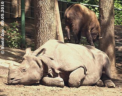 Nepal und ein Takin-Mitbewohner, 9. Mai 2010 (Sóstó Zoo)