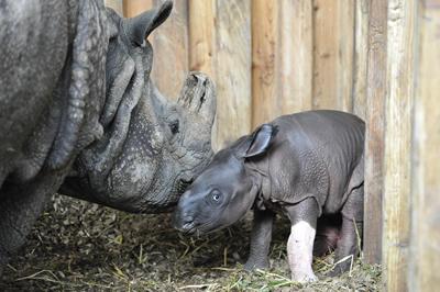 Ellora mit ihrem Neugeborenen Mäderl, 23. Juli 2010 (Foto: Thomas Jermann / Zoo Basel)