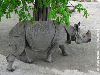 Muss aber dann doch immer wieder nachschauen gehen, wo sich dieses freche andere Nashorn herum treibt! Jange, 15. April 2011
