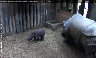 Das kleine Nashorn-Baby, 34 Stunden alt, mit Mama Saar, 20. November 2011