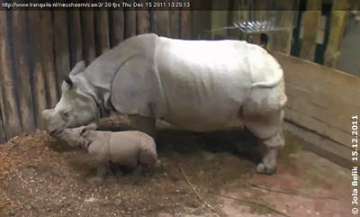 Baby Sunanda mit Mama Saar, 15. Dezember 2011 (Screenshot Webcam)
