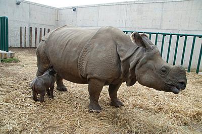 Tuto, 11 Tage alt, trinkt endlich bei Mama Shiwa, 19. Februar 2012 (Foto: Terra Natura Benidorm)