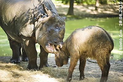 """Diesen Takin-Mitbewohner hat Nepal """"zum Knabbern"""" gern, 20. August 2010 (Sóstó Zoo)"""