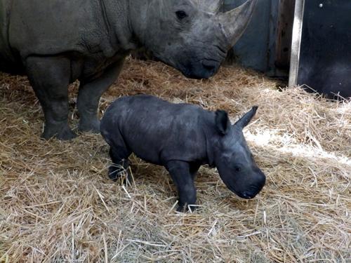 Baby-Nashorn