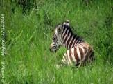 Zebra-Fohlen