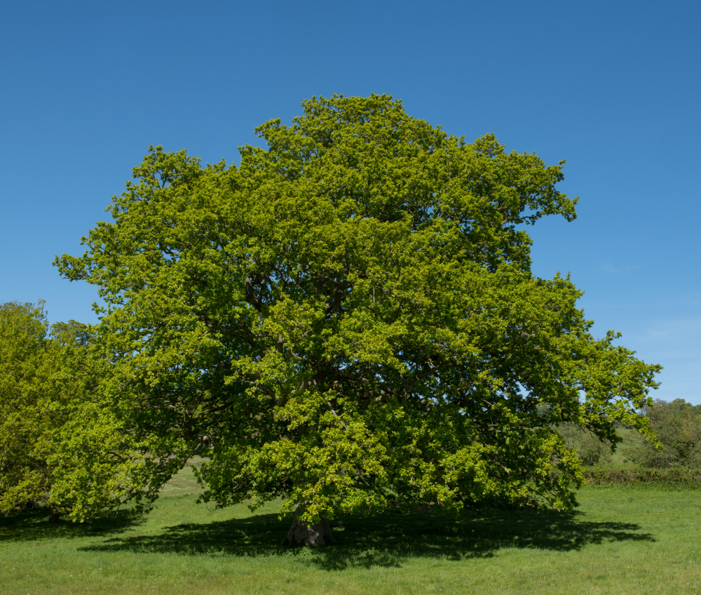 European oak tree, also known as white oak, or  common oak